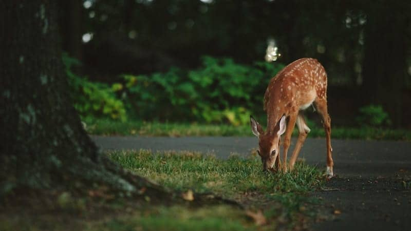 这是一只梅花鹿